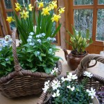 春満開の寄せ植え